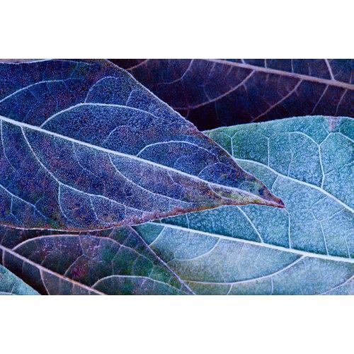 Karo-art Fotobehang - Bevroren bladeren