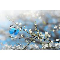 Karo-art Fotobehang - Kersenbloesem met vlinder