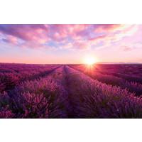 Karo-art Fotobehang - Lavendelveld