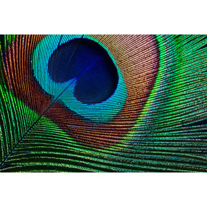 Karo-art Fotobehang - Veer van pauw