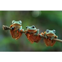Karo-art Schilderij - Drie kikkers op een tak , Groen, 2 maten, Premium print