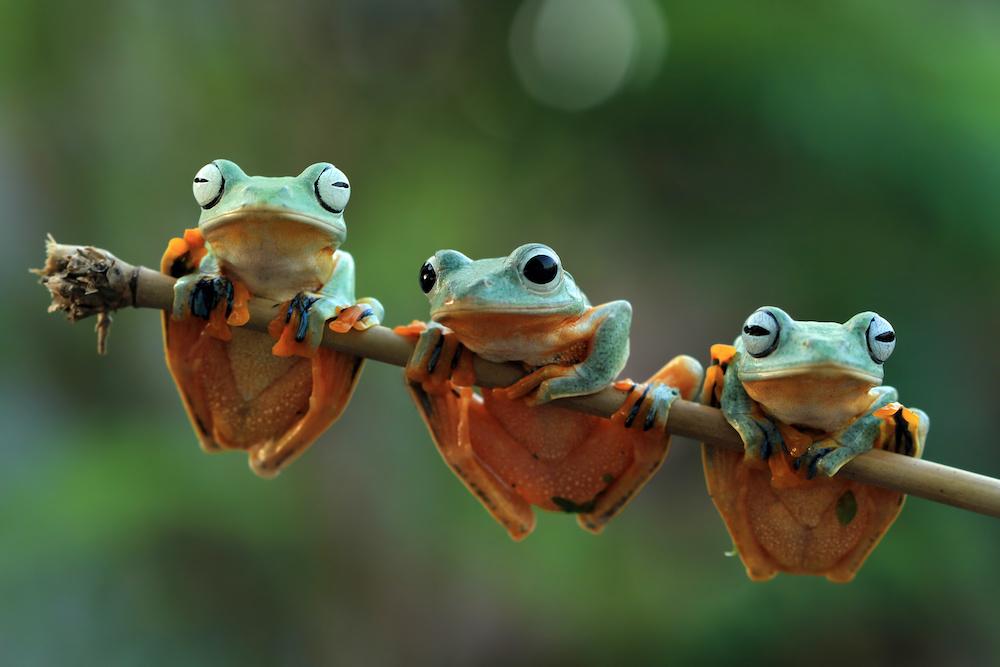 Schilderij - Drie kikkers op een tak , Groen, 2 maten, Premium print