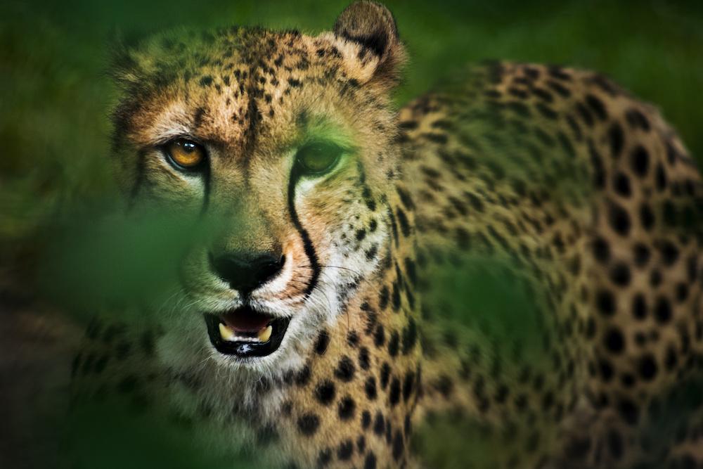 Schilderij - Cheeta in hoog gras , Groen/Geel, 2 maten, Premium print