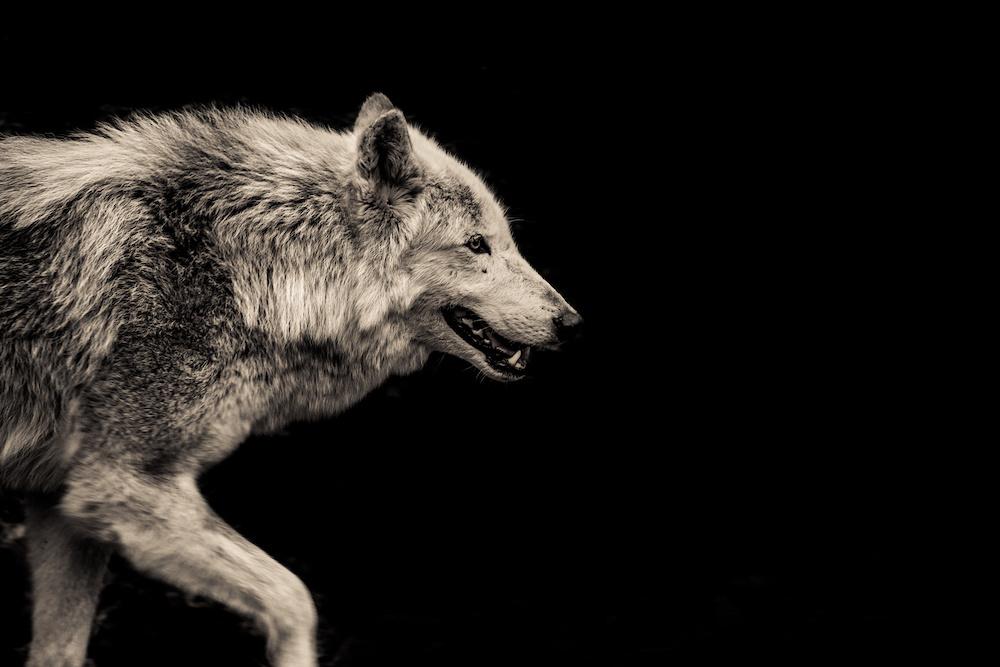 Schilderij - Grijze wolf, 2 maten, Premium print