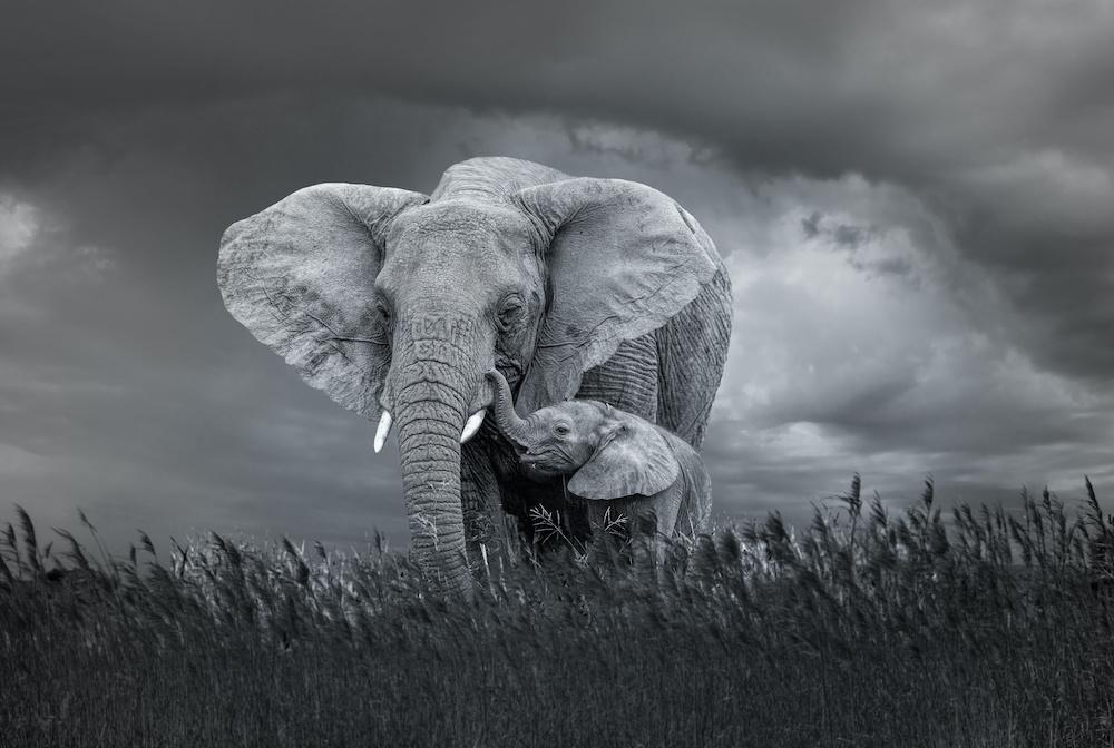 Schilderij - Moeder en baby olifant, Zwart-Wit, 2 maten, Premium print
