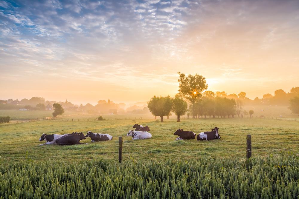 Schilderij - Koeien bij zonsopgang, 2 maten, Premium print