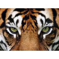 Karo-art Schilderij - Tijger ogen ,  2 maten, Premium print