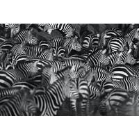 Karo-art Schilderij - Zebra kudde,  2 maten, Premium print