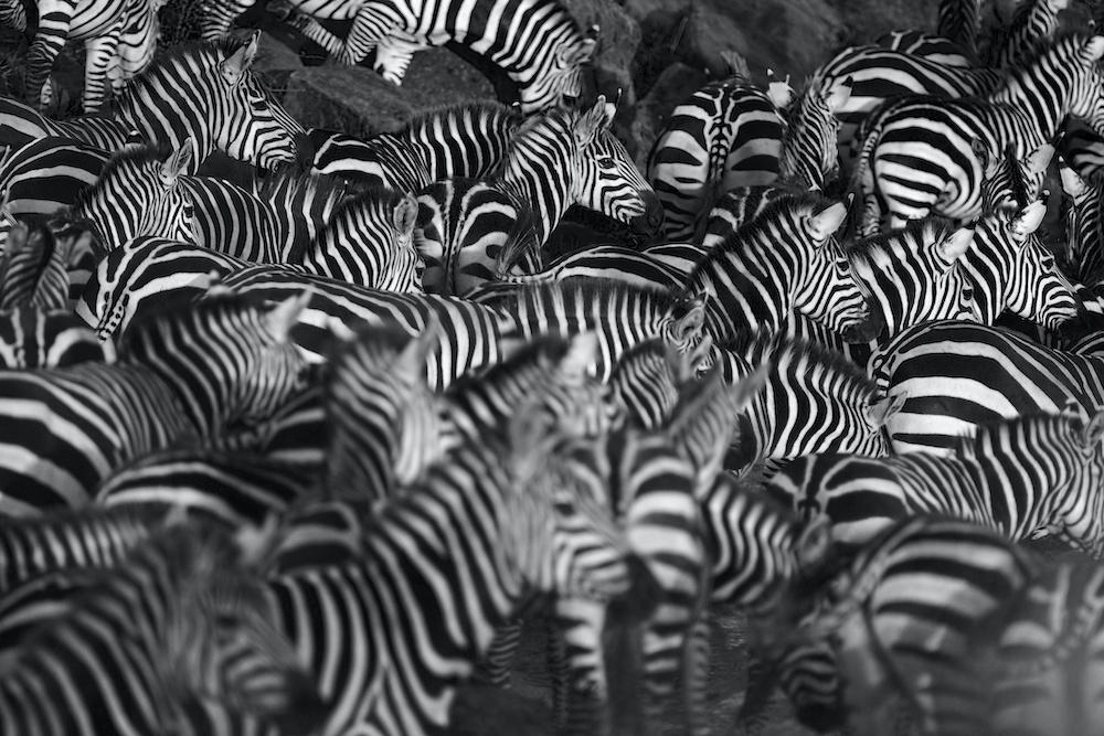 Schilderij - Zebra kudde, 2 maten, Premium print