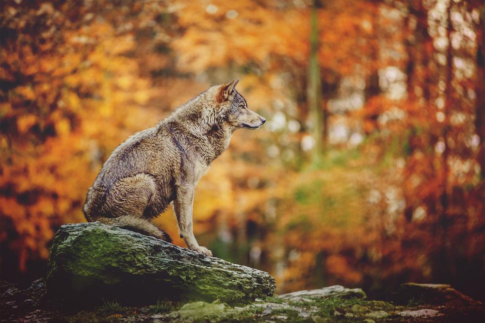 Schilderij - Wolf in het bos, 2 maten, Premium print