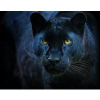 Karo-art Schilderij - Zwarte panter,  2 maten, Premium print