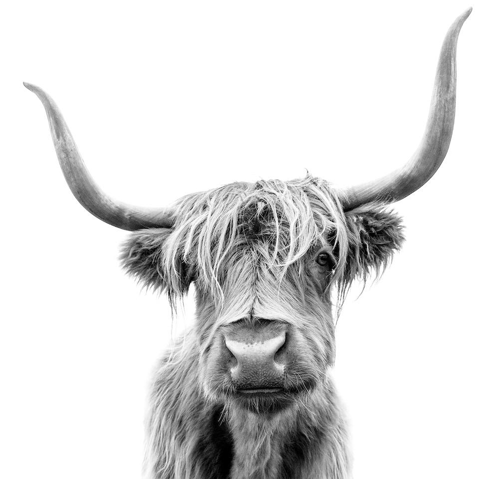 Karo-art Schilderij - Hoogland koe, 3 Maten, Premium print