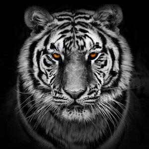 Karo-art Schilderij - Tijger in zwart en wit met oranje ogen, premium print, 3 maten
