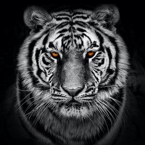 Karo-art Afbeelding op acrylglas - Tijger in zwart en wit met oranje ogen, premium print, 3 maten