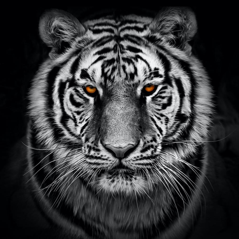 Afbeelding op acrylglas - Tijger in zwart en wit met oranje ogen, premium print, 3 maten