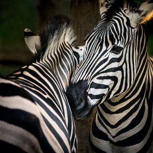 Karo-art Schilderij - Zebra's , premium print, 3 maten