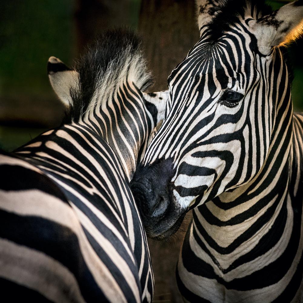Schilderij - Zebra's , premium print, 3 maten