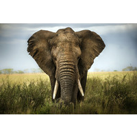 Karo-art Schilderij - Olifant close-up,  2 maten, Premium print