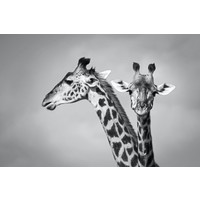 Karo-art Schilderij - Giraffen zwart-wit,  2 maten, Premium print