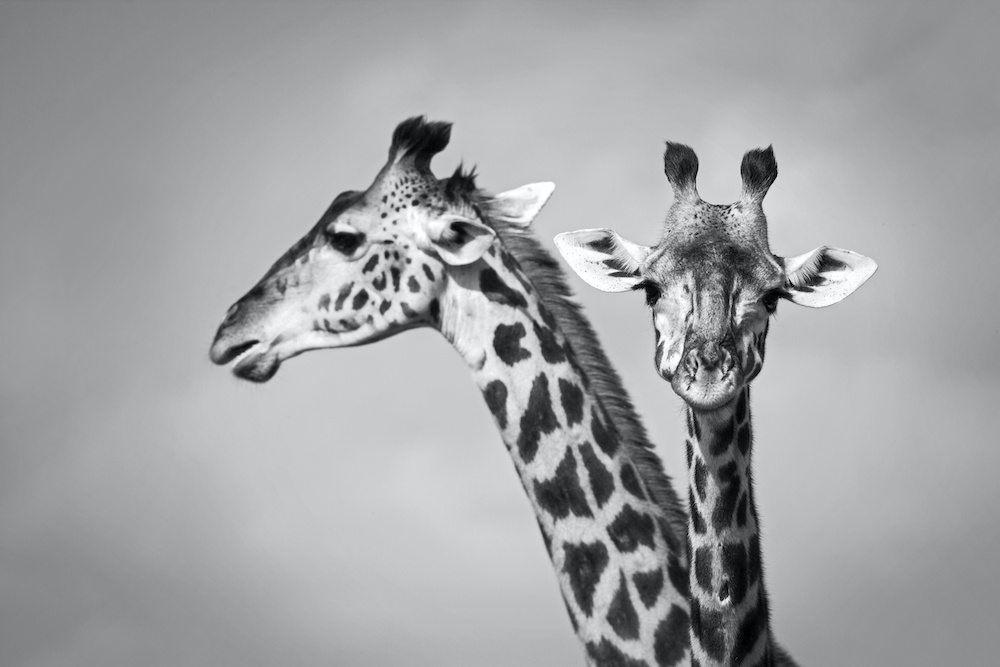 Schilderij - Giraffen zwart-wit, 2 maten, Premium print