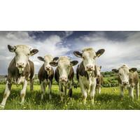 Karo-art Schilderij - Koeien op een rij, 100x50, Premium print