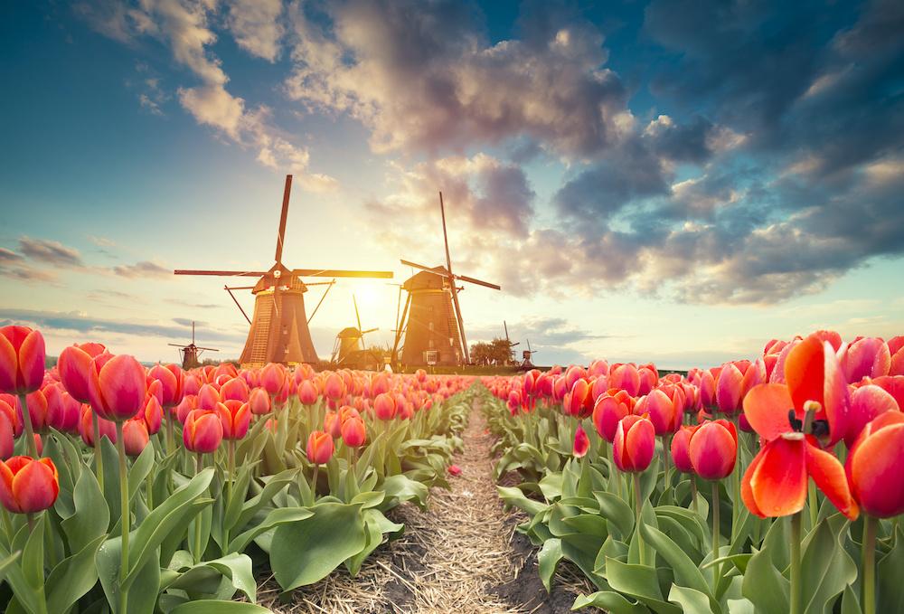 Schilderij - Tulpen en molens, 2 maten, Premium print