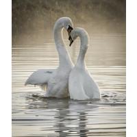 Karo-art Schilderij -  Zwanen liefde ,  2 maten, Premium print