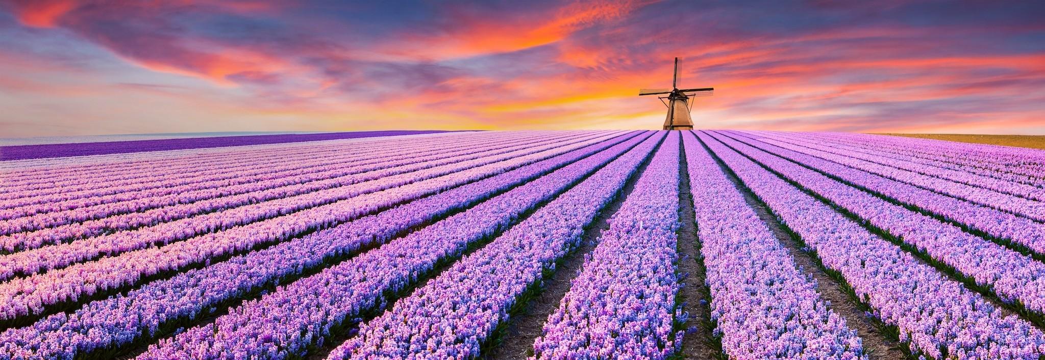 Schilderij - Paars bloemenveld in Holland, panorama, 2 maten