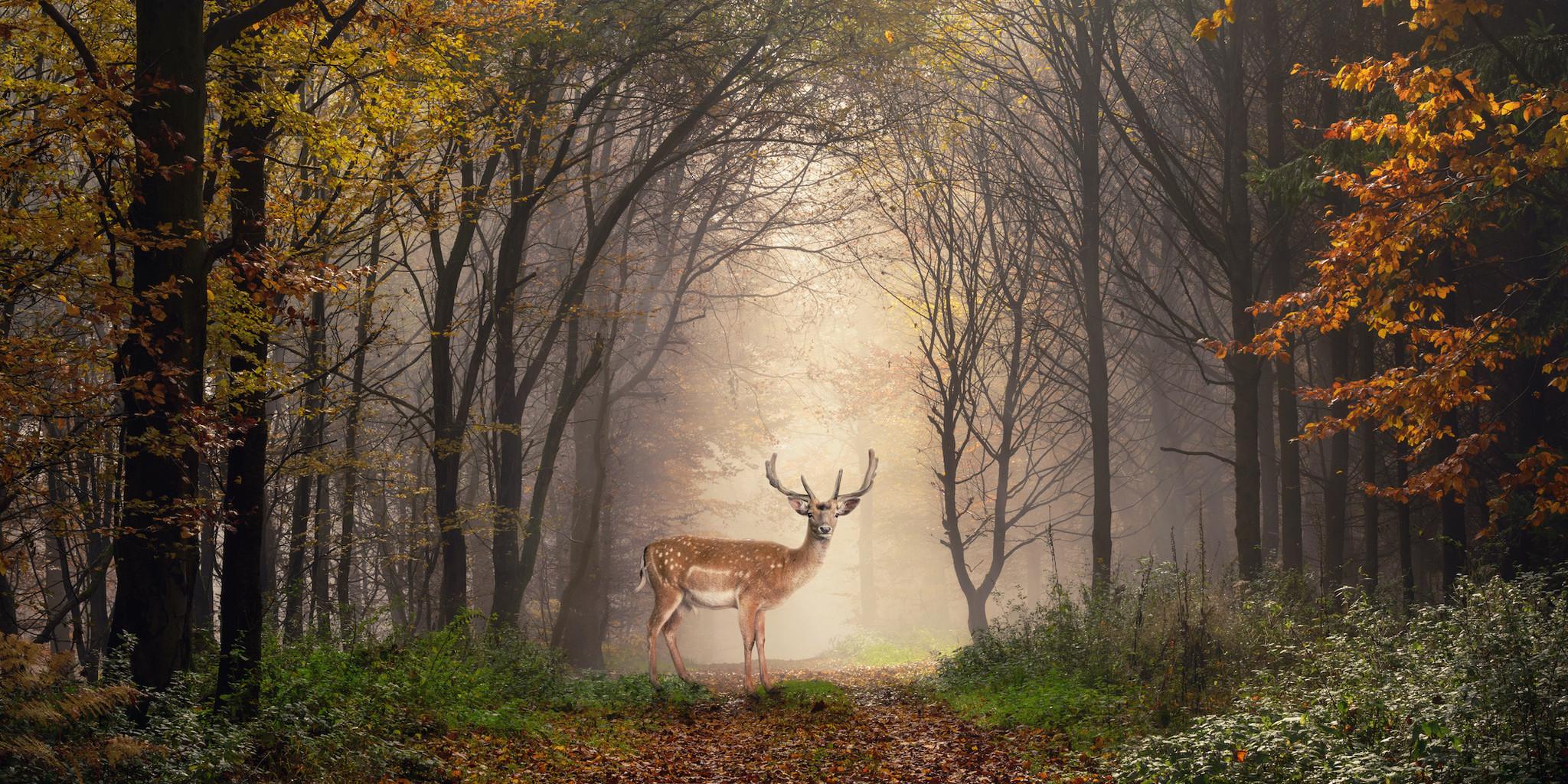 Schilderij -Hert in het bos, premium print , 2 maten (wanddecoratie)