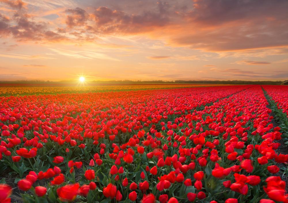 Schilderij - Veld vol tulpen, prachtige kleuren, 2 maten