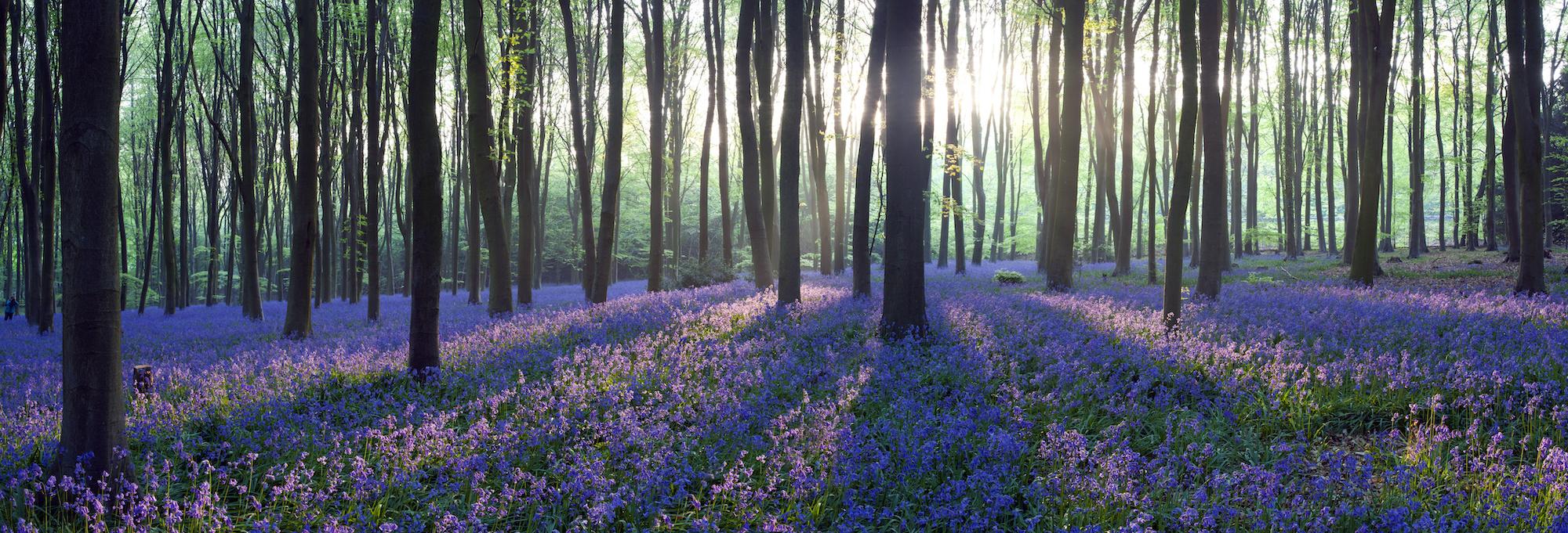 Schilderij -Lavendel in het bos, 120x40cm. Wanddecoratie, premium print -  1 luik