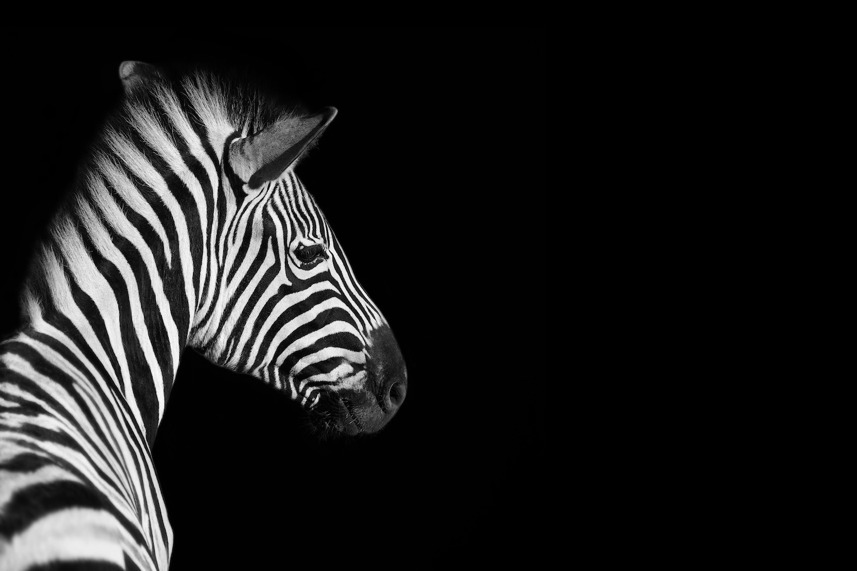 Schilderij - Zebra zwart/wit, 2 maten, premium print