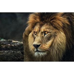 Karo-art Schilderij Portret van een Leeuw, 2 maten, premium print