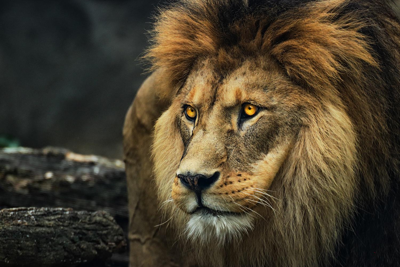 Schilderij Portret van een Leeuw, 2 maten, premium print