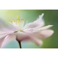 Afbeelding op acrylglas  - Zacht roze Kersenbloesem , 90x60cm