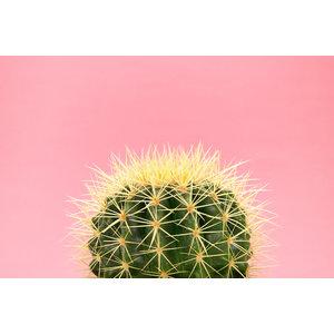 Karo-art Schilderij - Cactus Roze achtergrond, 100x70cm. Premium print