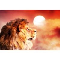 Karo-art Schilderij -Leeuw oranje/rood, zonsondergang,  2 maten Premium print