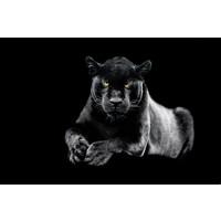 Karo-art Schilderij -Zwarte Panter,  dieren, 2 maten, Wanddecoratie