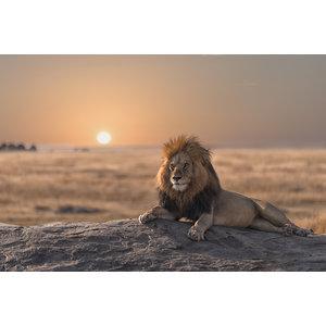 Karo-art Schilderij -Leeuw bij zonsondergang, 90x60cm.  dieren, wanddecoratie
