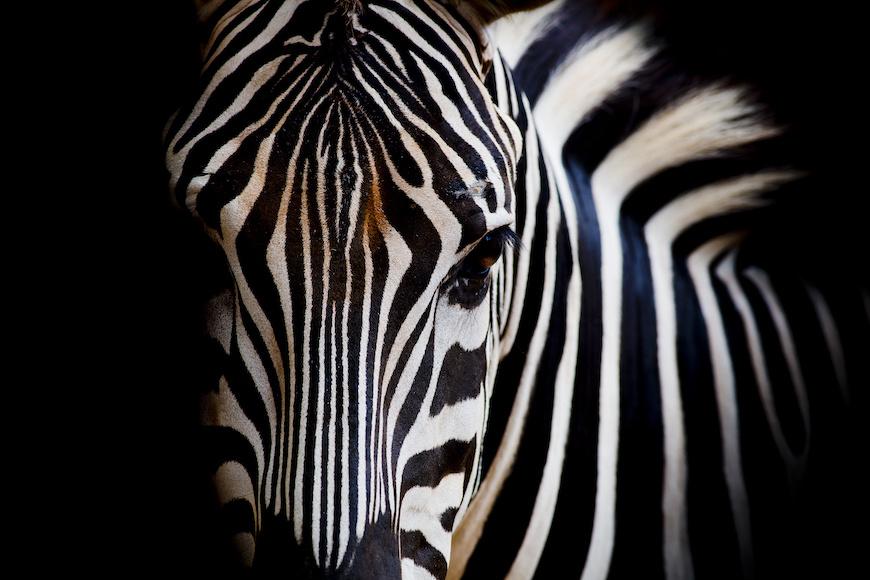 Schilderij -Zebra close up, magisch, 100x70cm, wanddecoratie