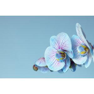 Karo-art Schilderij -Blauwe Orchidee, 100x70cm, wanddecoratie