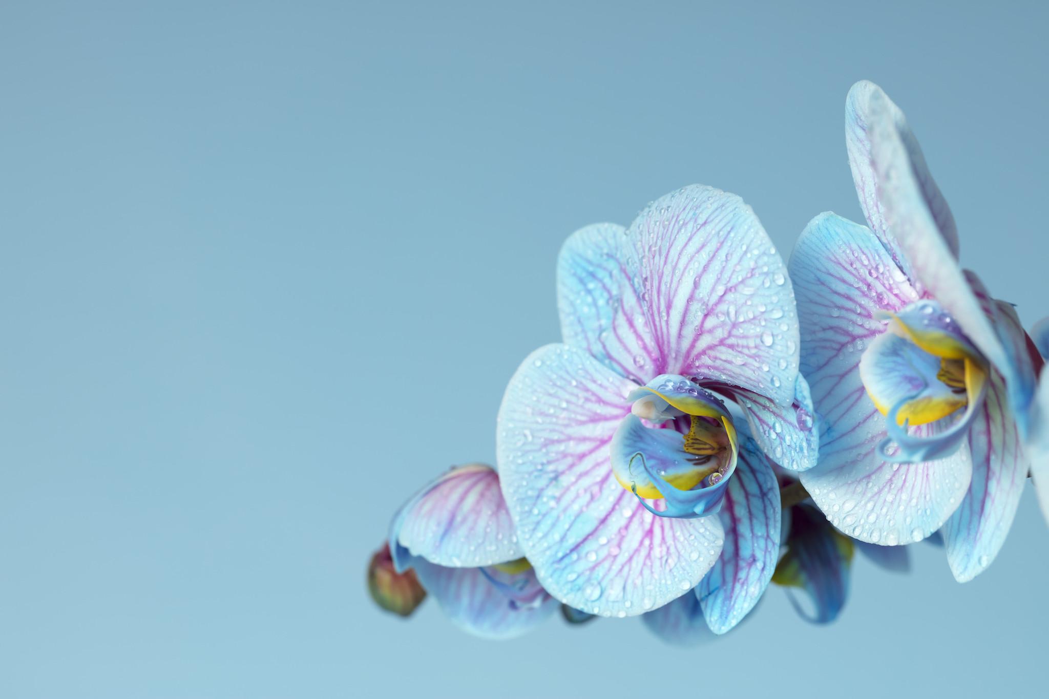 Schilderij -Blauwe Orchidee, 100x70cm, wanddecoratie -  1 luik