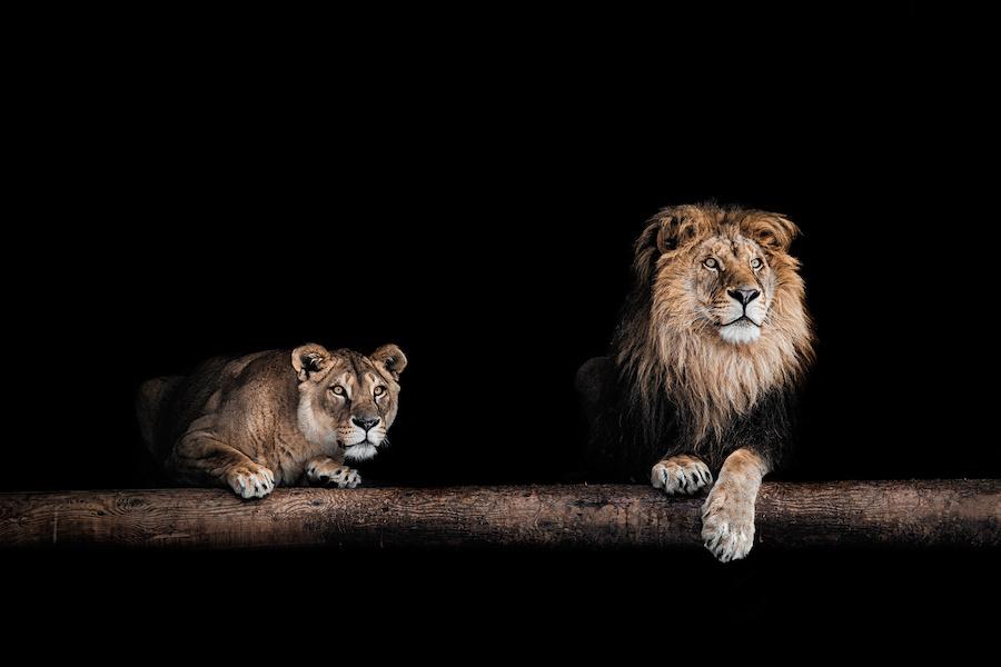 Schilderij -Leeuw en Leeuwin, 2 maten, wanddecoratie -  1 luik - 60x40 cm
