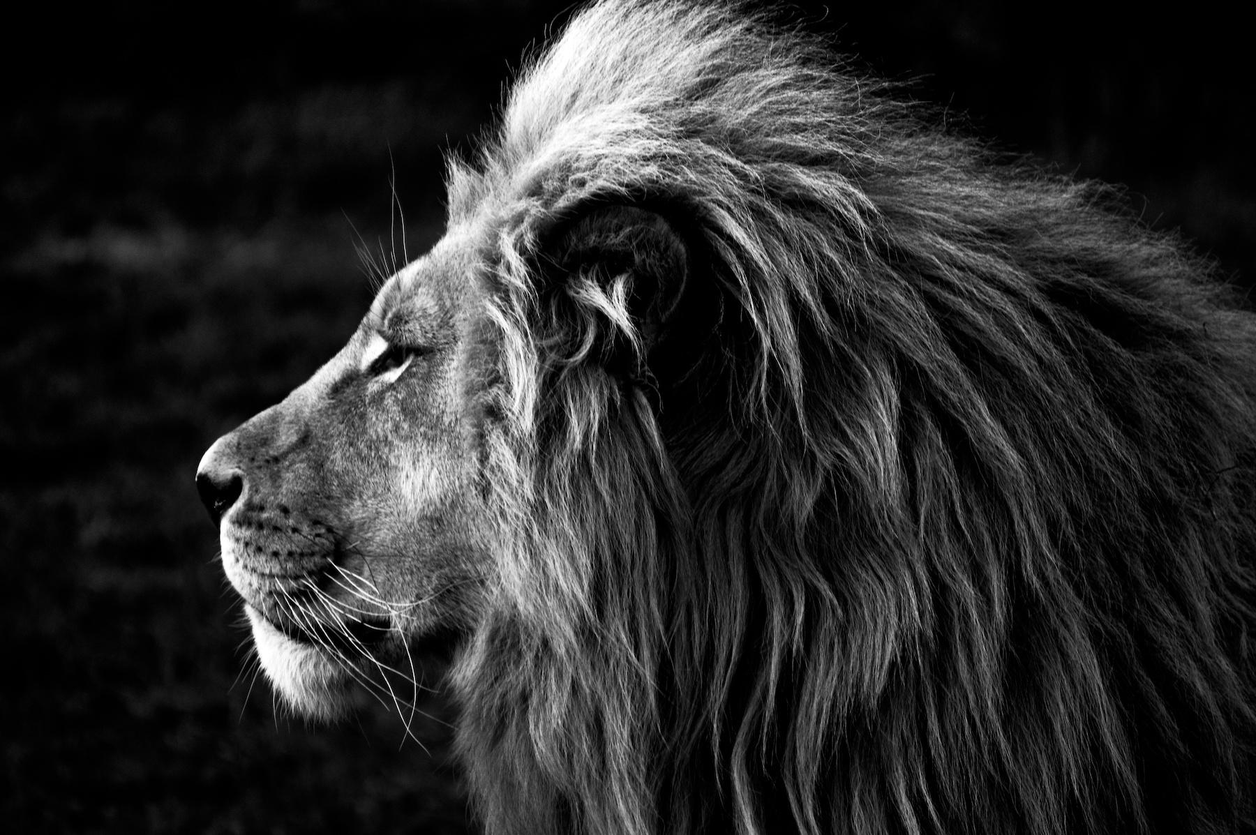 Schilderij -Zijprofiel van een Leeuw, Koning van de Jungle, zwart/wit, 100x70cm. premium print -  1 luik