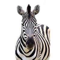 Karo-art Schilderij - Vooraanzicht Zebra, Grijs wit , 3 maten , Premium print