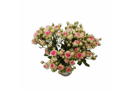 Rozen.nl Spray Rose Mimi Eden