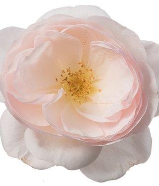Eetbare rozen Delicate