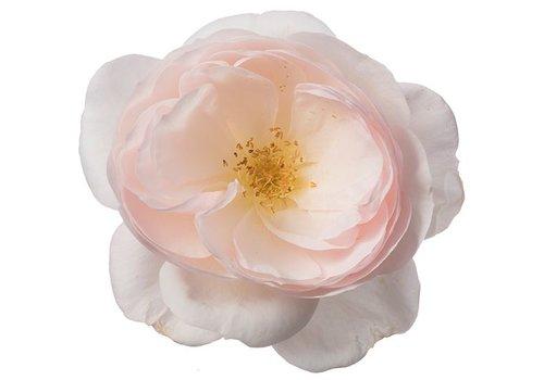 Rozen.nl Edible roses - Delicate