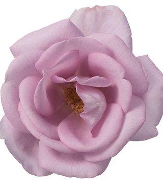 Rozen.nl Eetbare rozen Delight