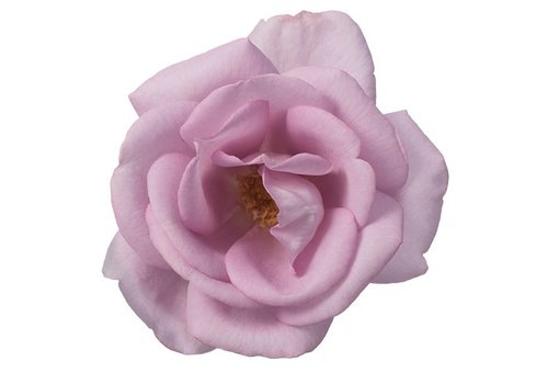Rozen.nl Edible roses - Delight